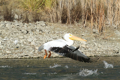 White Pelican takes flight, Lake Chabot