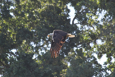 Bald Eagle at Alisal