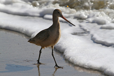 Spotted Sandpiper at New Brighton Beach, Capitola