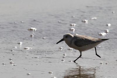 Juvenile Spotted Sanpiper @ New Brighton Beach, Capitola