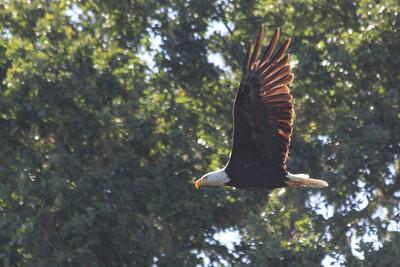 Bal Eagle at Alisal