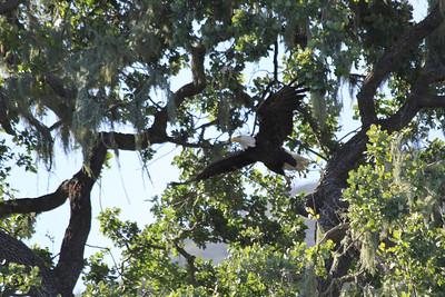 Bald Eagle at Alisal