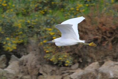 Snowy Egret In Fight