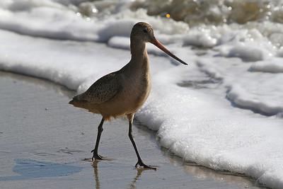 Spotted Sandpiper at New Brighton Beach, Capitola